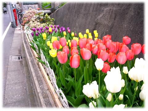 120424_tulip.jpg