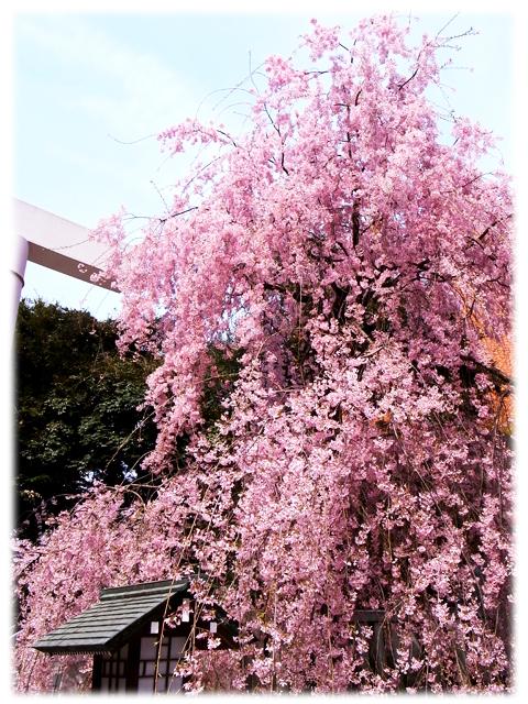 140401_Sakura_NogiJinjya-01.jpg