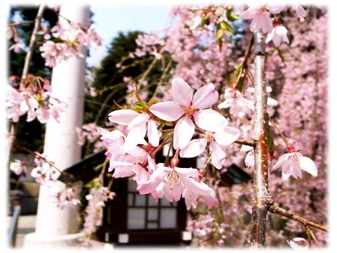 140401_Sakura_NogiJinjya-02.jpg